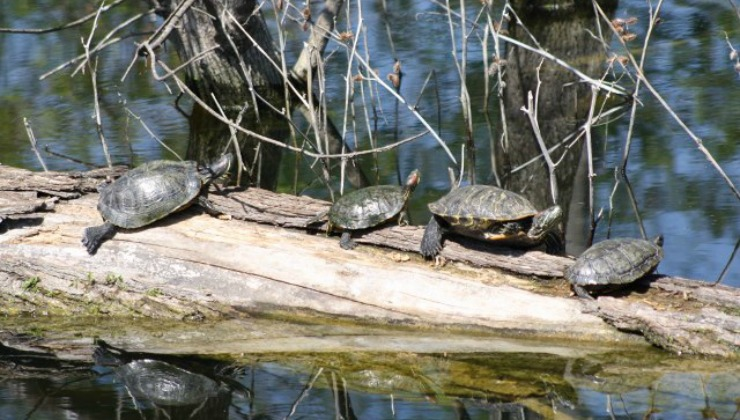 Heard red eared sliders